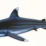 """Poster """"Les requins de Polynésie"""". Joseppe & PatCab, 1998."""